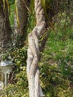 liane torsadée