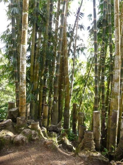 Bambou naturel en Amazonie