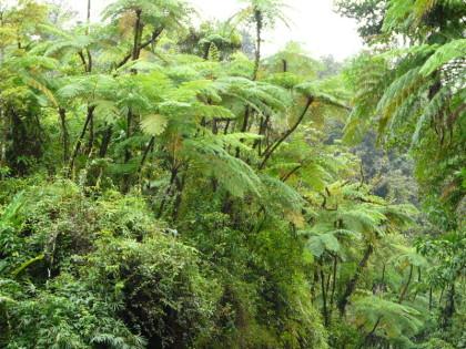 fougère arborescente Amazonie