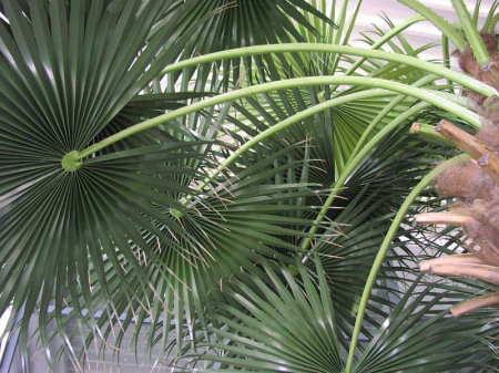 Palmes de palmier  waschingtonia