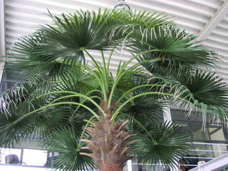 Palmes artificielles de palmiers Washingtonia
