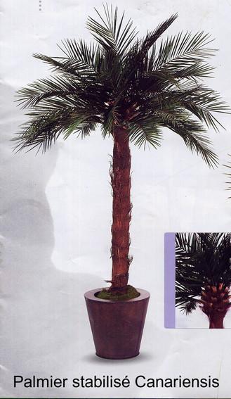 Palmier stabisilés naturalisés