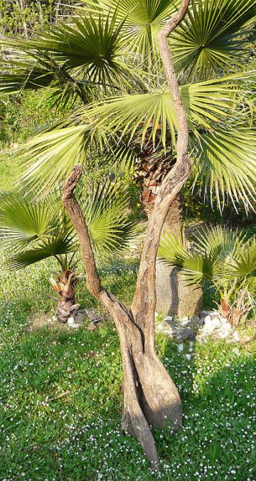 Moutouchi arbre naturel  de mangrove