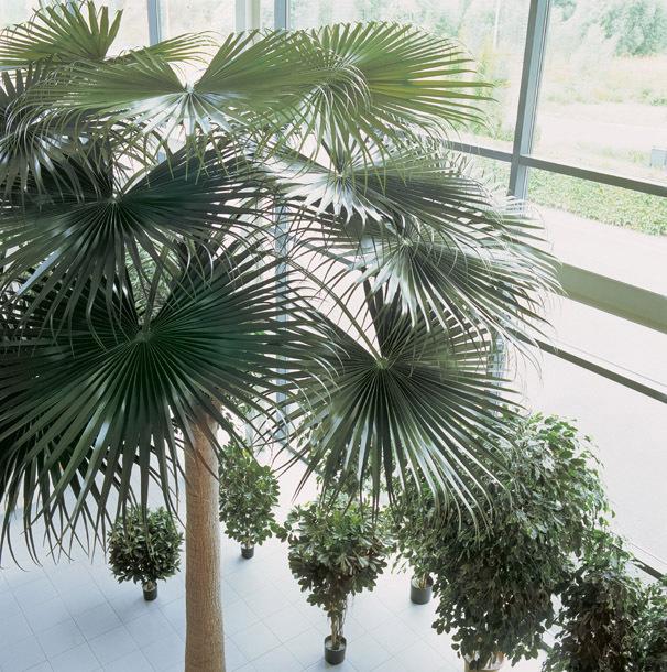 palmiers artificiels cap amazonia plantes artificielles. Black Bedroom Furniture Sets. Home Design Ideas